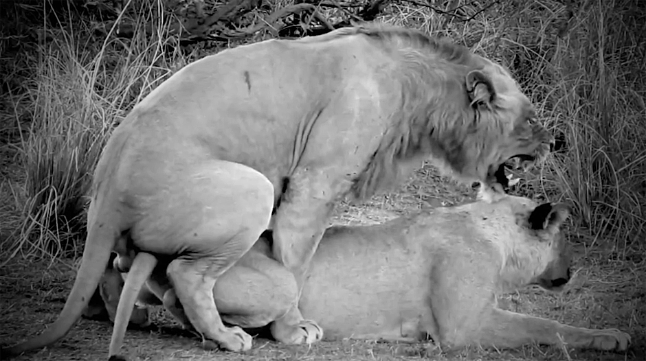 Лев, животное-мудак