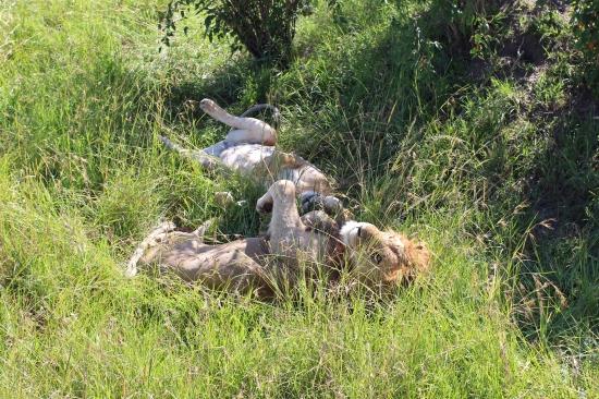 Вокруг Кении за 20 дней - Лев, совсем не мудак