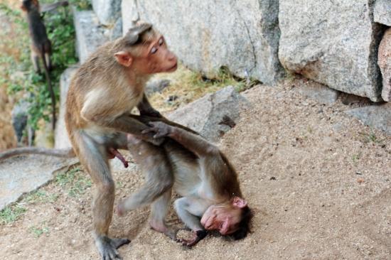 Секс в Индии. На фото - два самца