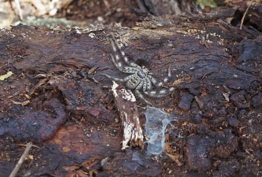 Паук-охотник в заповеднике Nardoo Hills