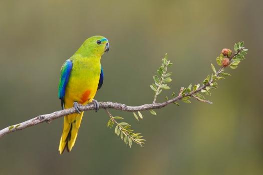 Оранжевобрюхий попугайчик