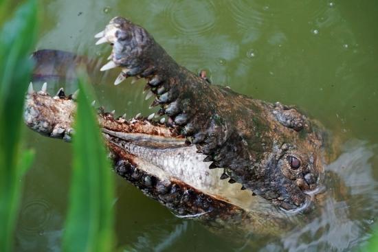 Крокодилы Австралии